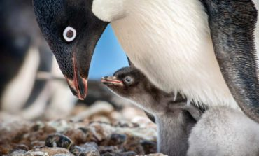 Disneynature Reveals New Glimpse into Nature Documentary 'Penguins'